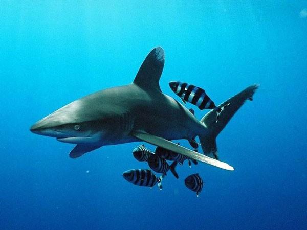 коралловый риф наживка для акулы